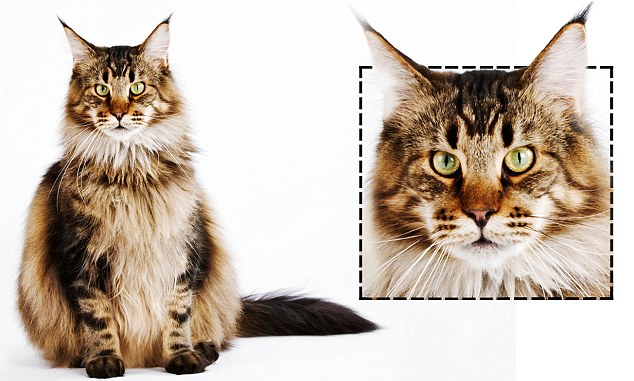 'Cats with square faces are often keen to please their owners. 'Square cats tend to be affectionate and love to snuggle and give head-butts,' said cat behaviourist, Arden Moore