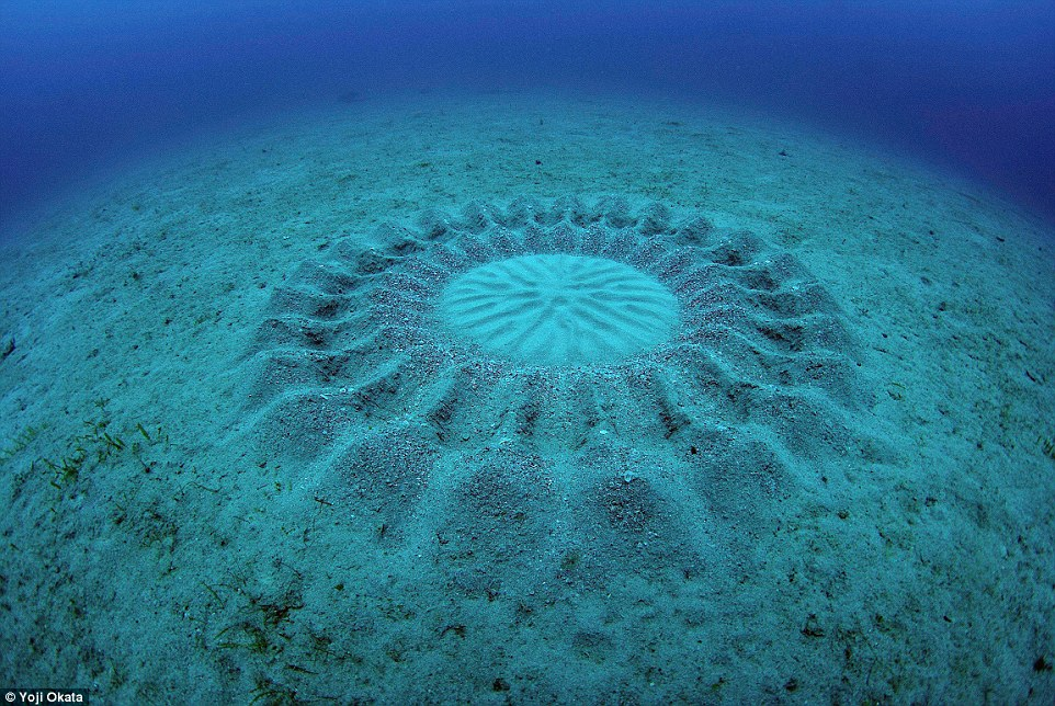 These bizarre geometric designs on the sea bed just off the coast of the island of Amami-Oshima in Japan have baffled marine biologists for nearly 20 years, but last year researchers identified a new species of puffer fish had been creating the sand castles as spawning nests