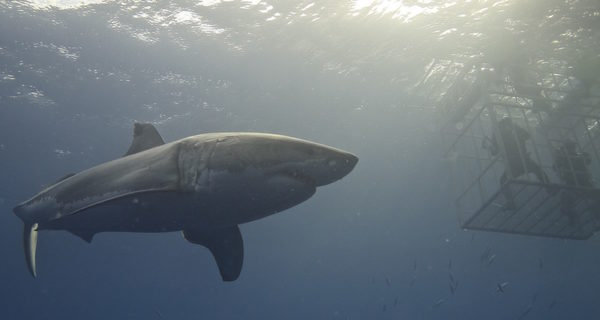 US Navy Attempted to Enlist Suicide Sharks After World War II