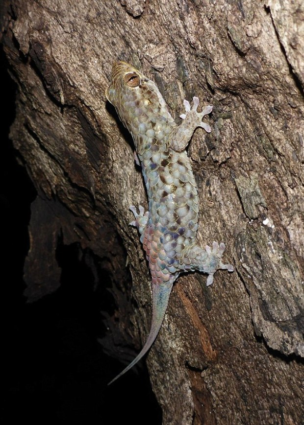A new species of gecko found on Madagascar has massive scales which tear away leaving it looking like a raw chicken fillet