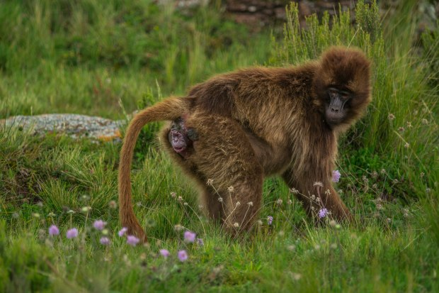 Picture of a gelada baboon giving birth