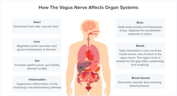 vagus-nerve-symptoms-organ-systems
